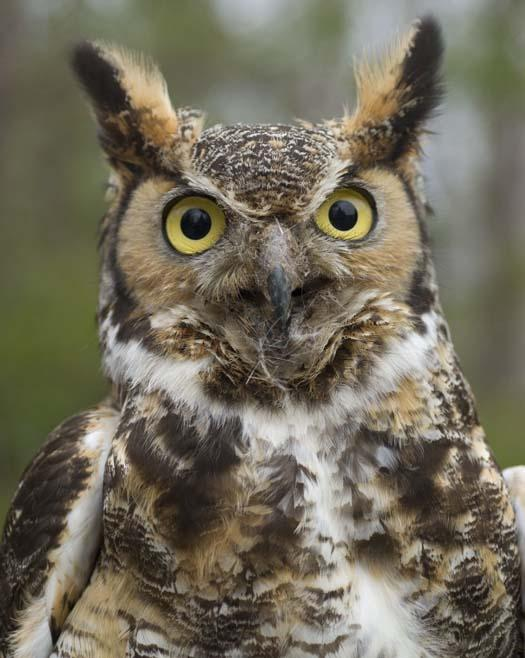 great-horned-owl-4-1-2008_1875