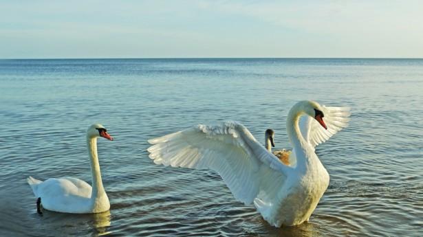 shutterstock_swans-615x345