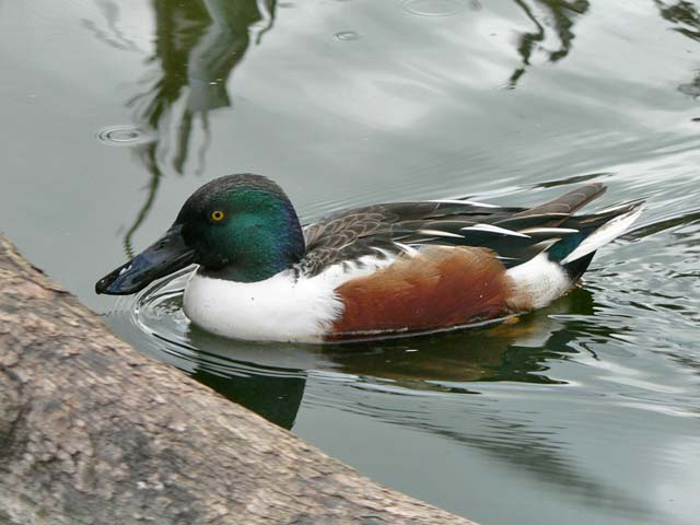 northernShoveler