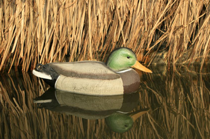 mallard-duck-424