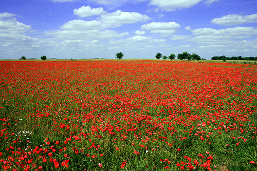Flanders-Fields-Poppies