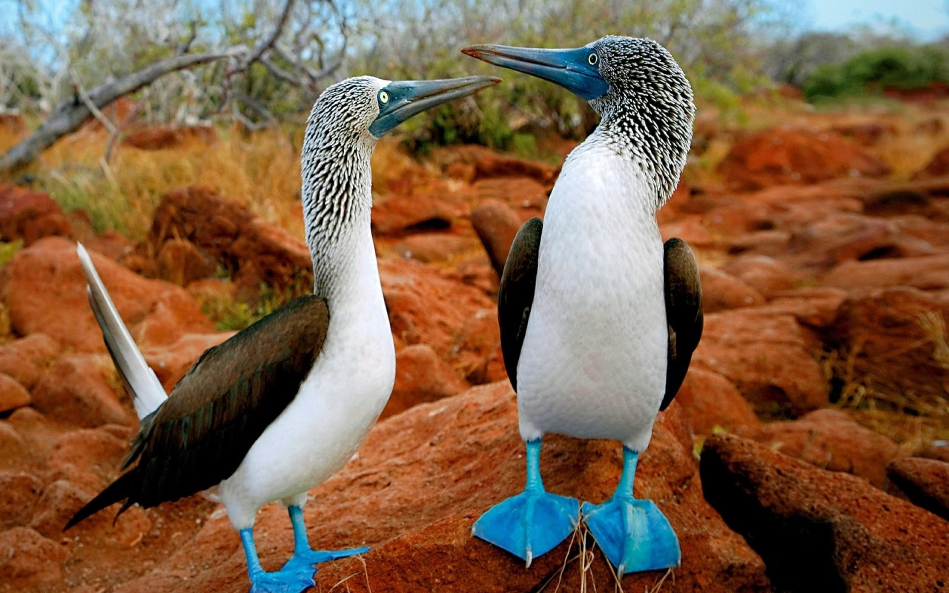 Blue Footed Booby Wallpaper