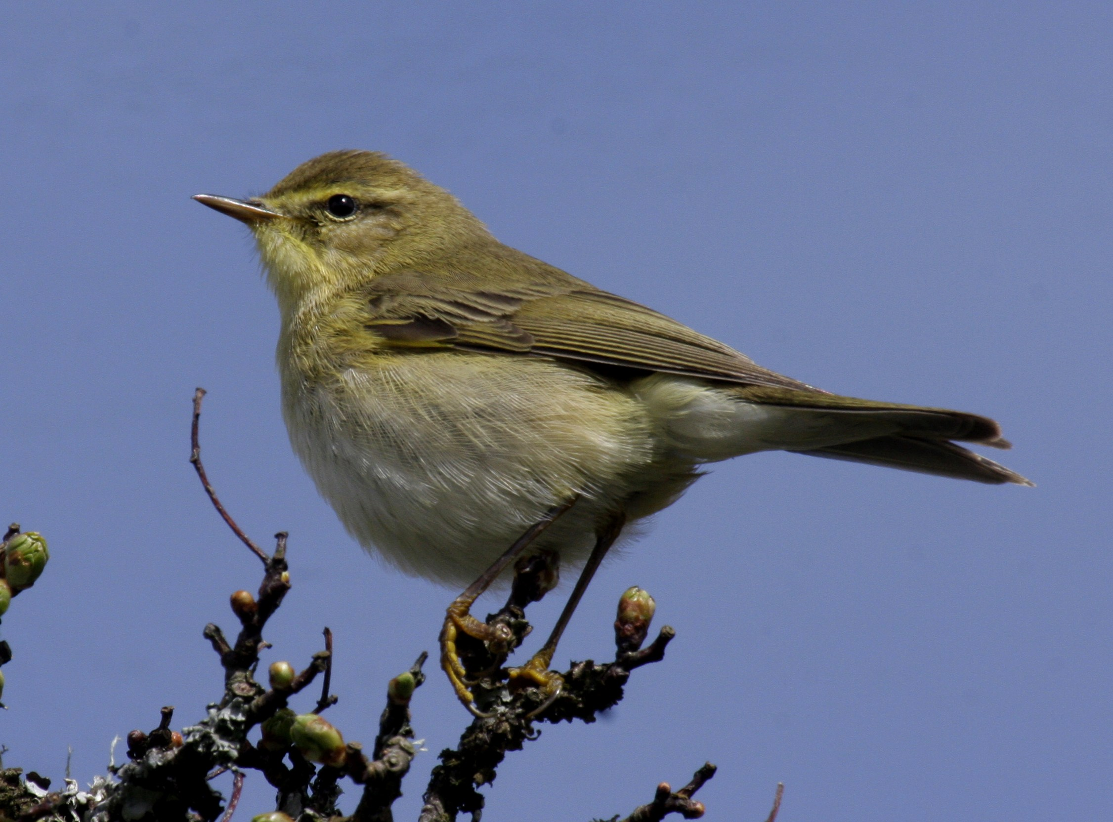 Willow_warbler_UK09