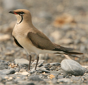black-winged-pratincole-2-kaz-2007