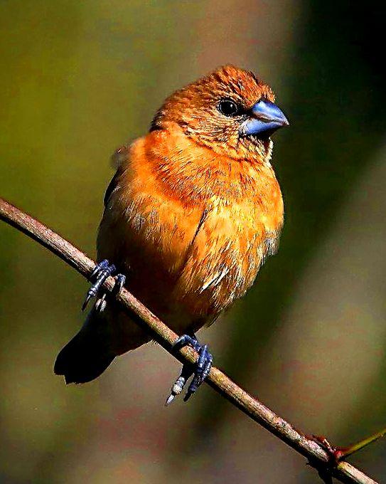 Bird 205 Nugmeg Mannikin